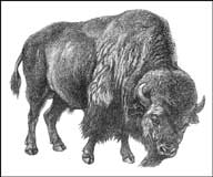 Drawing of a big strong bison