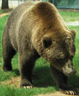 grizzly-hump-walking-140h.jpg