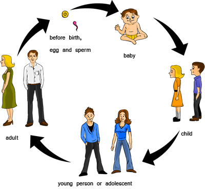 Stages of human life cycle for kids - photo#3